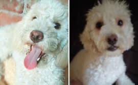 SJL: Denuncian robo de perro que sufre de epilepsia