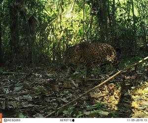 Cámaras trampa para evitar la extinción del jaguar [VIDEO]
