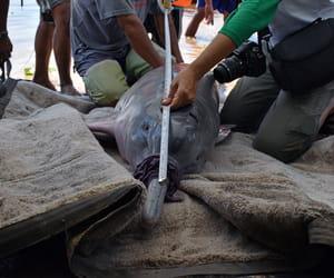 Delfines de río en Perú serán monitoreados vía satélite [VIDEO]