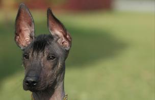 """¿El """"Perro calato"""" fue un manjar curativo? [VIDEO]"""