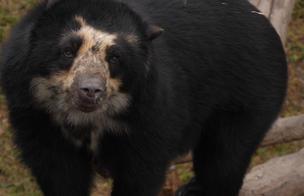 El Oso de los bosques andinos [VIDEO]