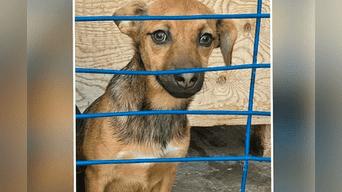 Esta es Kúsinka, la perrita rusa de raza mestiza que Ricardo Lazo adoptó. Foto: Facebook.