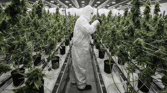 La industria cannábica se halla en crecimiento, esta vez una empresa canadiense busca a seis expertos en materia de marihuana.