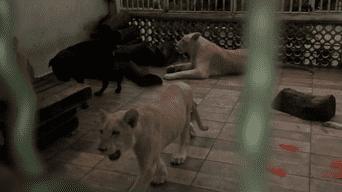 Los vecinos de Omar Rodríguez viven con temor por la presencia de los tres imponentes leones africanos.