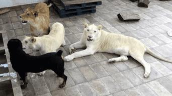 Tres leones africanos se hallan encerrados en un pequeño espacio acondicionado en el techo de un domicilio común.