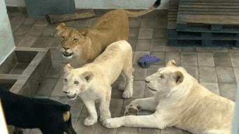 Nojoch, Gorda y Numbi son los tres leones africanos que permanecen en el techo de Omar Rodríguez.