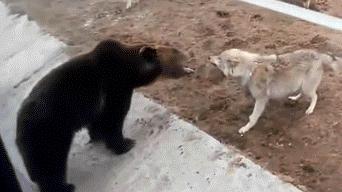 Facebook Feroces Lobos Se Enfrentan A Un Enorme Oso En Un Zoológico