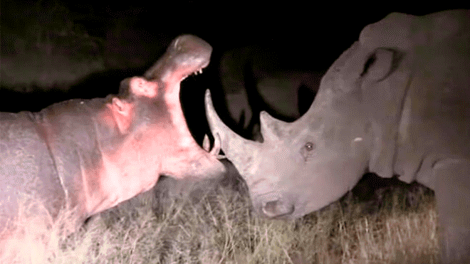 YouTube viral: Hippo upsets wild rhinoceros and gets