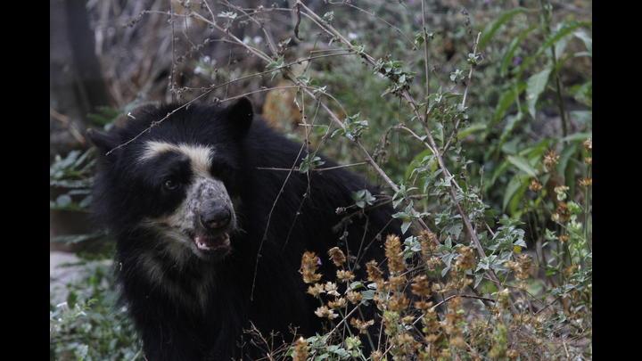 El oso de anteojos es una de las especies que vive en el bosque de Chaparrí.